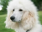 Standard white poodle